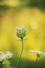Queen Anne's Lace wildflower during sunrise
