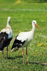 Adult stork