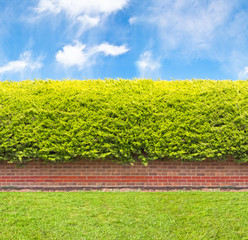 Tall hedge with part of the brick wall