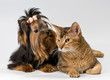 Yorkshire Terrier and cat in studio