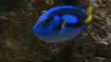 A powder blue tang on coral reef