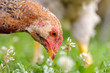 Chicken Eating Grass