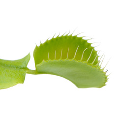 Venus Flytrap Leaf Trap on White Background