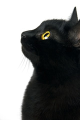 Black cat portrait in profile isolated on white