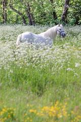 Weißer Schimmel in Blumenwiese