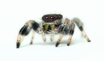 Phidippus regius Jumping Spider isolated