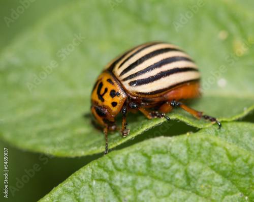 Colorado potato beetle in nature. macro