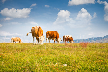 Cows on pasture in  ecological environment