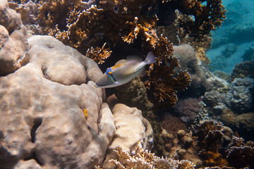 Rhinecanthus Picasso or Black Bar Triggerfish