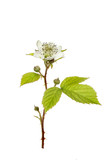 Bramble flower