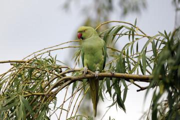 Ring-necked parakeet, Psittacula krameri