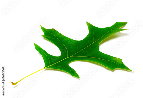 Green leaf of oak