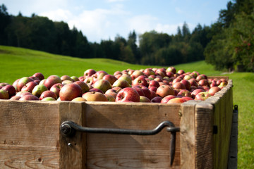 Red apples on a cart with grass and woods in the background