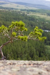 Young pine on  the top of hill