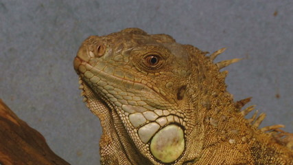 A close up of an iguana