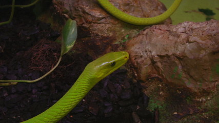 A close up of a green mamba