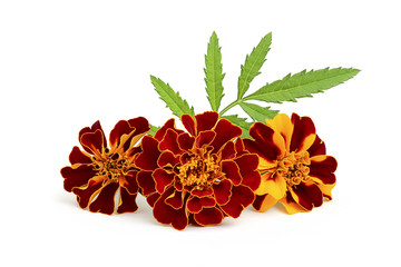 Marigold flowers with leaves.