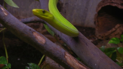 A green mamba crawling on a tree branch