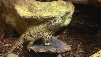 Bearded dragon (pogona vitticeps) on the rock