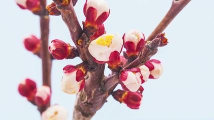 Apricot flower time lapse