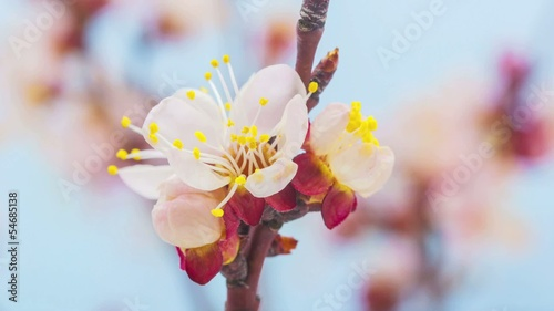 Apricot flower blossoming time lapse