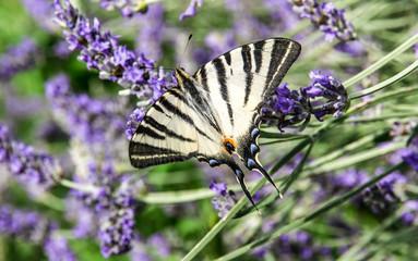 Farfalla Iphiclides podalirius su fiori di lavanda