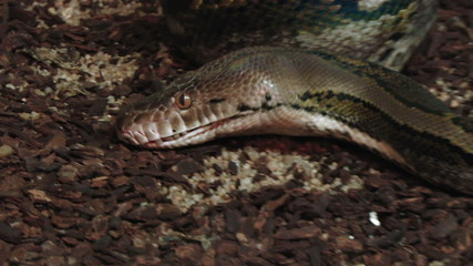 A close up of a python opening mouth