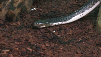 A close up of a water snake