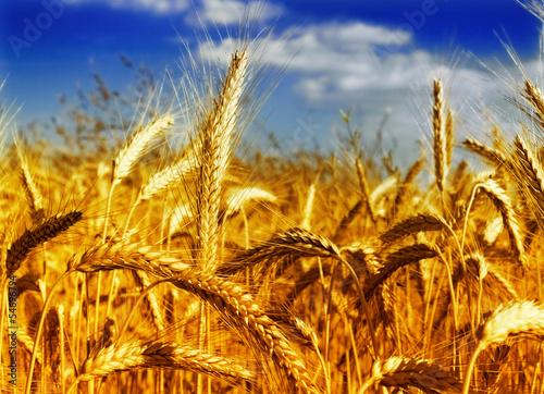 Wheat field against a blue sky - 54696794