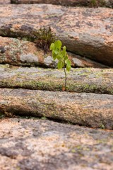 Small birch growing between stones