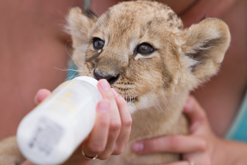 Little lion cub drinking milk