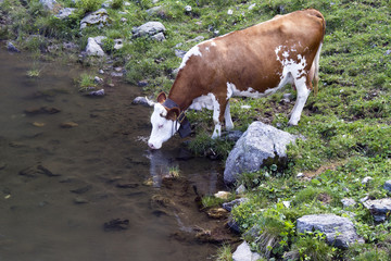 Cow drinking