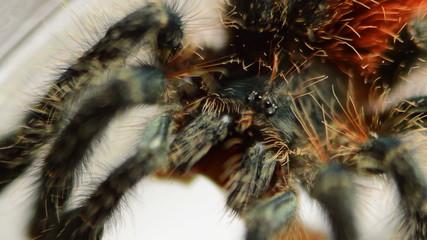 red tarantula macro with worm in it's jaws