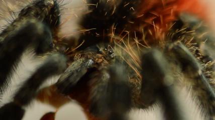 red tarantula macro eyes