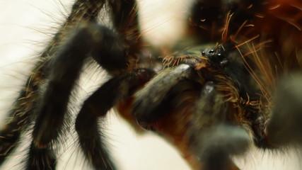 red tarantula macro