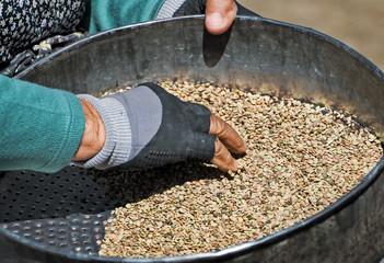 Pulitura della lenticchia a Castelluccio di Norcia