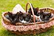 4 kleine Katzen-Geschwister in einem Korb im Grünen
