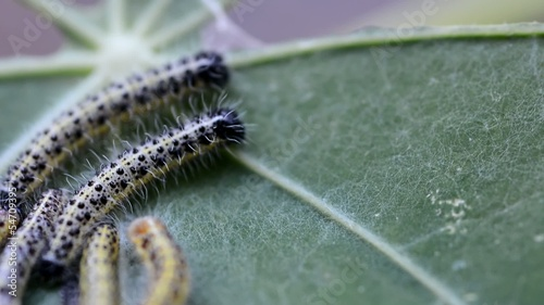 Color caterpillars on the green leaf. Macro footage.