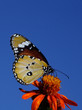 Monarch butterfly over blue