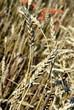 dry,ripe wheat