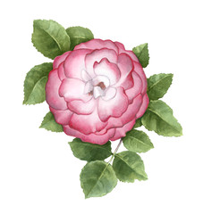Watercolor illustration of dog rose flower