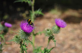 Bumblebee on Scottish emblem, the thistle