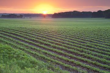 Soybean field at sunrise