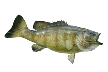 Smallmouth bass isolated on a white background