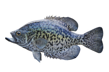A black crappie isolated on white
