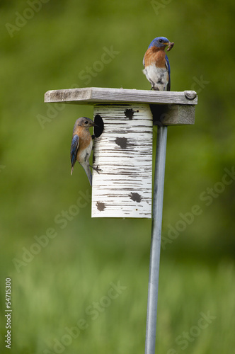 Bluebird pair sitting on a birdhouse ready to feed their young