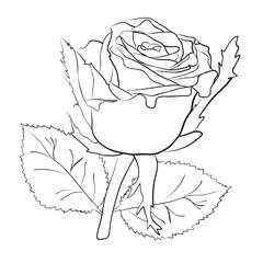 рисунок большой розы на белом фоне