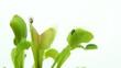 Carnivorous plant. Venus flytrap ( Dionaea muscipula ) - VIDEO