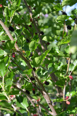 Mulberry tree with berries