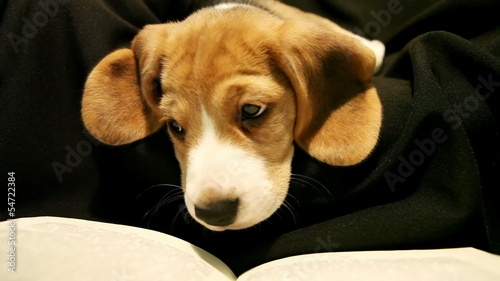 Funny scene : little beagle puppy read book before going to bed